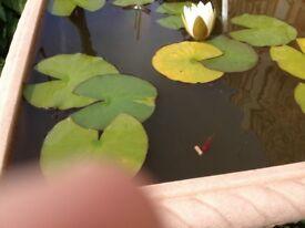 4 Platys - Tropical fish
