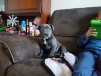 Blue staffordshire bull terrier staffy pup