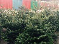 Fresh Christmas trees