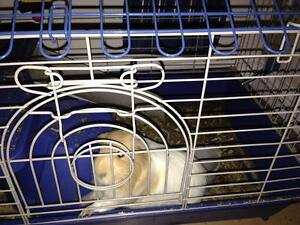 Free Guinea pig with cage