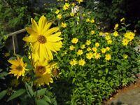 Maximilian Sunflower plant
