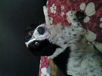 black and white english springer spaniel for sale