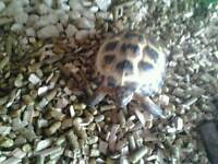 female horsefield tortoise and setup