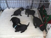 Puppies for Sale Curly Coat Retrievers