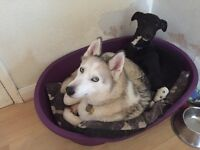 Female husky and male lurcher looking for forever home