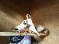 Zebra Finches For Sale