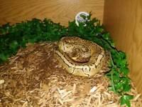 Lemon blast royal python + setup