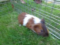 Baby guinea pigs plus brand new hutch