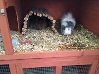 2male Guinea pig plus hutch