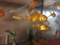 GOLD FISH / large, small,gold ,white , brown
