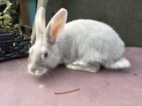 Lovely silver fox rabbit