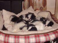 japanese chin pups