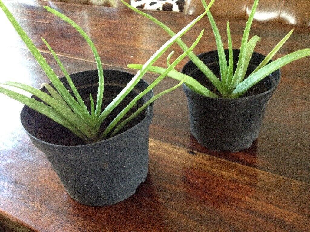 Aloe Vera Plant Price Per Plant In Poole Dorset Gumtree