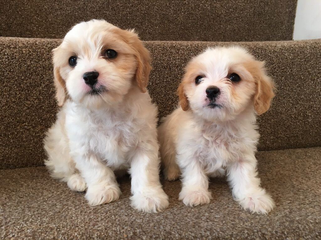 Buy Cavachon Dogs Puppies For Sale   Duncan, OK USA #326124