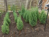 CONIFER TREES, Slow growing, 3 to 6 years old