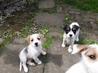 Lovely jack russell puppies