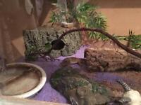 2x Leopard Geckos