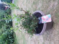 Very Healthy Crimson Bottlebrush Callistemon Bush in Large Planter