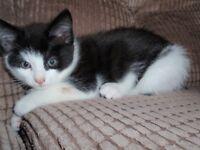 Black & White Male Kitten