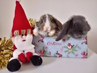 Gorgeous purebred Dwarf-lop baby bunny's for sale...