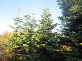 Freshly Cut Christmas Trees Noblis Fir various sizes