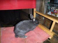 male blue rabbit