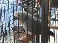 parrot african grey ready now