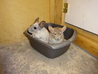 Pair of Chinchillas,18 months old ,Used to being handled & daily exercise