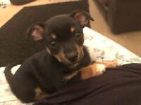 Chihuahua X sausage dog puppy