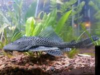 Large plec plecco fish *can deliver*