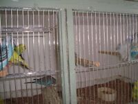 budgies and finches for sale