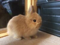 Orange Netherland Dwarf Buck