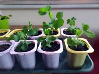 READY TO GO! 8 pea seedlings *8 for £3.50 or 50p each*
