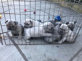 KC registered French Bulldogs 3 girls available (1 lilac 2 lilac sable)