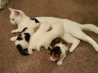 3week old Kittens for sale 2 Boy's 2 Girl's 2 pure white 1 black and white 1 mixed