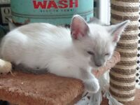 2 x stunning half siamese boy kittens for sale -ready now