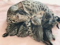 Pure bengal kittens kittens for sale