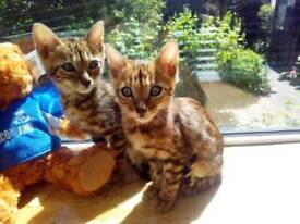 Stunning Pure Bengal Kittens *ONLY ONE LEFT *!!!!!