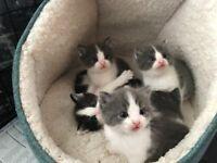Ragdoll cross kitten