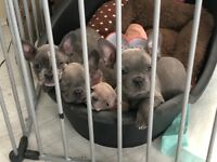 *REDUCED* French Bulldog Pups