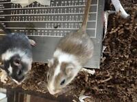 A pair of Gerbils for sale
