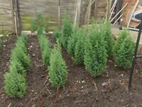 CONIFER TREES, Slow growing, 3 and 4 years old