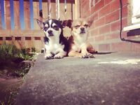Chihuahua dogs for sale brothers will not sell separately