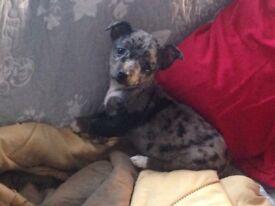 Miniature merle chihuahua boy pup