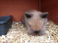 Female lion head bunny rabbit for sale