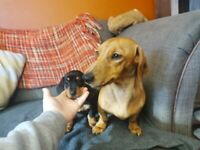 MINIATURE DACHSUND PUPPIES. 2 LEFT.