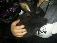 baby flemish giants rabbits