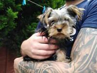 Beautiful Yorkshire Terrier pups