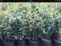 Portuguese Laurel Hedging Plants £1.60. Best Prices