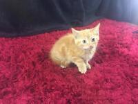 Cute Male Ginger Kitten